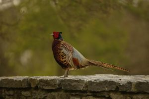 Pheasant at Blarney Castle by Boxxbeidl