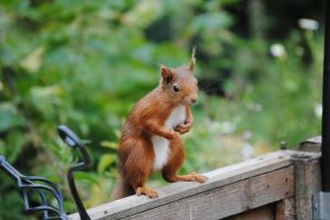 Red Squirrel by cjmj1975
