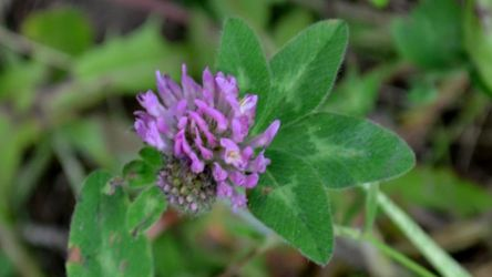 Clover flower by nyghthawk-photograph