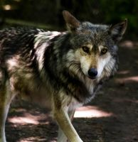 Mexican Wolf Stock: 42 by HOTNStock