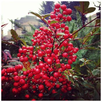 Red berries on a rainy morning by echomrg