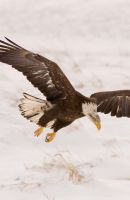 Bald Eagles In Michigan by kl61