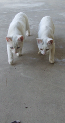 Feral White Kitties - Mirror Panthers by lethe-gray