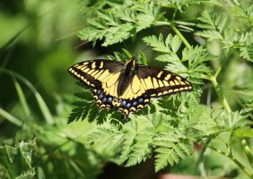Anise Swallowtail resting on Posion hemlock by DaisyDinkle