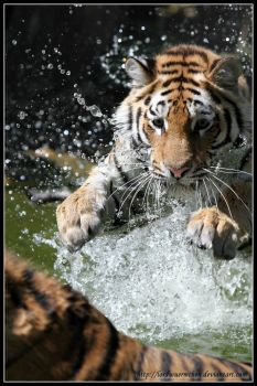 Tiger attack by AF--Photography