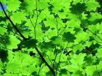 light through leaves by shirrey