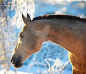 akhal-teke winter by Olga5