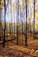 Fall Forest Stock 03 by silverthorne-studios
