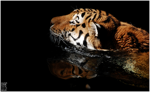 Animals - Siberian tiger by NFB-Stock
