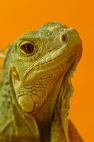 Contemplative Reptile 6120858 by StockProject1