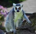 Ring-Tailed Lemur 01 by RedPangolin