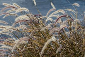 Reeds in the wind by tjohare
