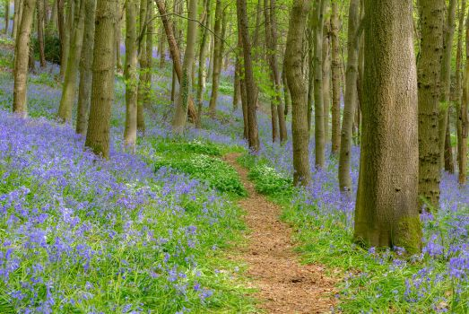 Bluebell Woods by newcastlemale