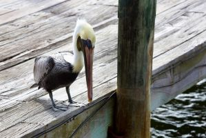 Brown Pelican on the Dock by TomFawls