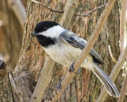 Chickadee by CRG-Free
