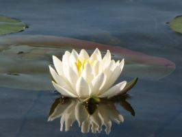 FL Water Lily Stock by Moonchilde-Stock