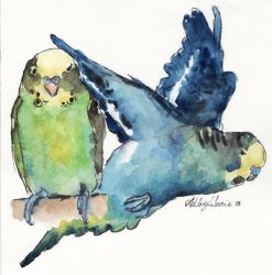 budgie study by ashleighs