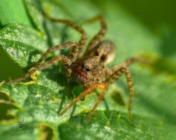 Wolf Spider - Lycosidae super macro by TheFunnySpider
