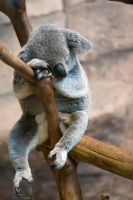 6852 - Koala by Jay-Co