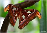 Attacus atlas by KlaraDrielle