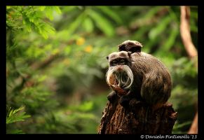 Tamarins by TVD-Photography
