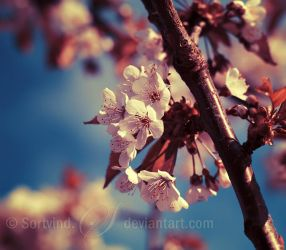 Sakura Dreaming by Sortvind