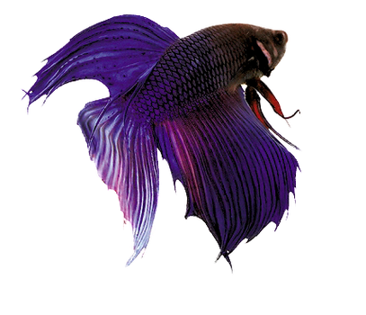 peixe purple by morganahopi