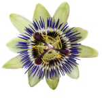 Passion Flower PNG by Bunny-with-Camera
