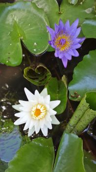 Waterlily by crystal-sand