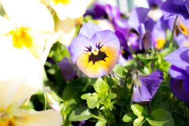 Pansies by thedustyphoenix
