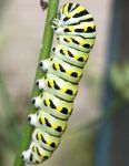 Swallowtail Caterpillar detail by slephoto