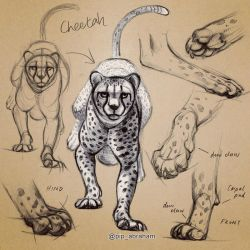 Cheetah paw studies by oxpecker
