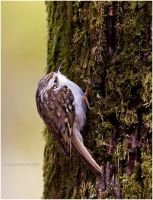 Treecreeper by Swordtemper