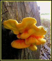 yellow fungi I by Sugaree-33