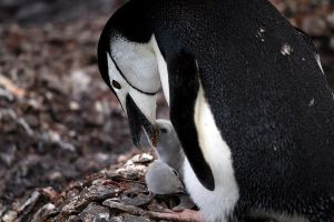 Chinstrap penguin by DPaZZa