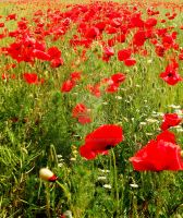 Poppies by Amatrice