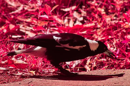 IR Magpie at 300mm by colinbm1