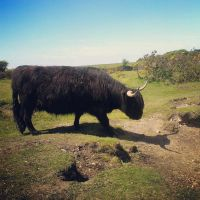 Wooly Bull by divafica