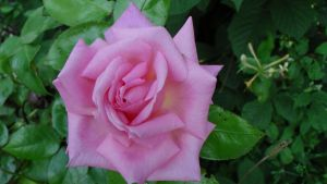 Pink Rose by dragonfire70