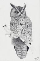 Long-Eared Owl by xcxNinuixcx