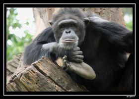 Chimp by darklord977