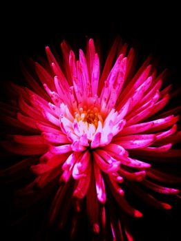 pink Flower in the dark by HaloReach726
