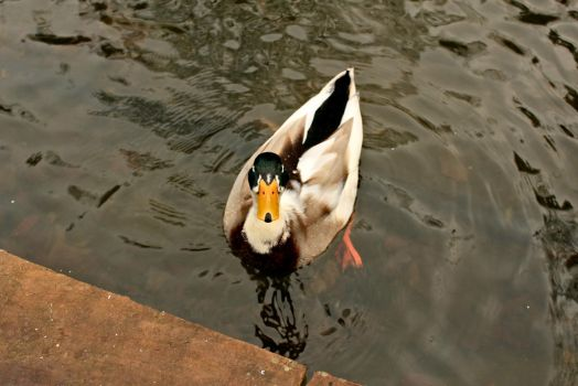 A male duck in park Efteling by mbrv4ever