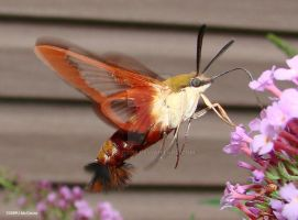 Hummingbird Clearing Moth 4 by seto2112