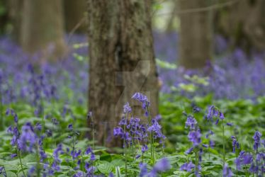Bluebells in the Woods by photographybypixie