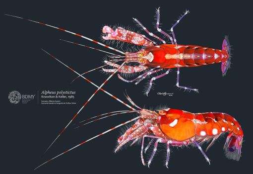 Red Snapping Shrimp by albertoguerra