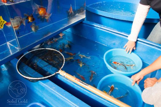 Selecting Goldfish and Koi by JennieConnelly