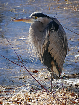 Heron at the icy edge by Mogrianne