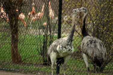 ostriches. by yellohbrd