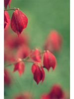 Red leaves by anemotionalfailure